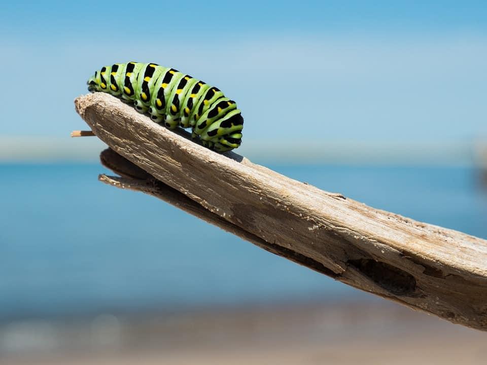 Transformation d'une chenille en papillon. Reflète le progrès d'une entreprise avec l'agile