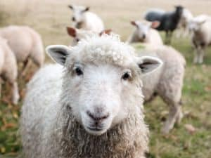 Mouton derrière son leader